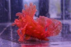 Поплавки какаду Scorpaena красные в аквариуме стоковое фото rf