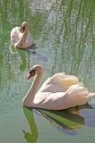 Поплавок 2 белый лебедей на ясной воде. Стоковая Фотография RF