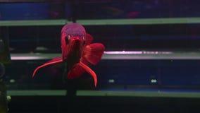 поплавок Arowana рыб 4K и поплавать показывающ масштаб его красивый и сияющий на садке для рыбы видеоматериал