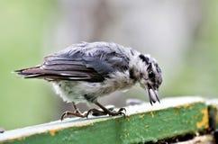 Поползневый держит семена подсолнуха в своем клюве Стоковые Фото