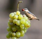Поползневый с гайкой в своем клюве сидит на пуке белых виноградин Стоковые Фото