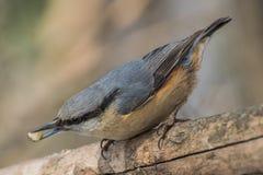 Поползневый, europaea Sitta, одичалая птица в естественной среде обитания Стоковые Изображения