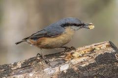 Поползневый, europaea Sitta, одичалая птица в естественной среде обитания Стоковые Фотографии RF