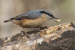Поползневый, europaea Sitta, одичалая птица в естественной среде обитания Стоковое Изображение RF