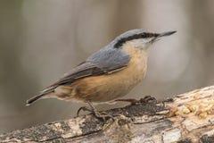 Поползневый, europaea Sitta, одичалая птица в естественной среде обитания Стоковое Фото