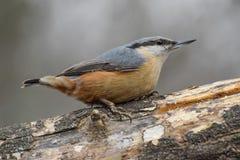Поползневый, europaea Sitta, одичалая птица в естественной среде обитания Стоковые Фото