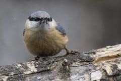 Поползневый, europaea Sitta, одичалая птица в естественной среде обитания Стоковое Изображение