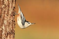 Поползневый на дереве Стоковые Фотографии RF