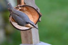 Поползневый подавая от половины раковины кокоса Стоковая Фотография