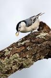 Поползневый breasted белизной (carolinensis Sitta) Стоковое Фото