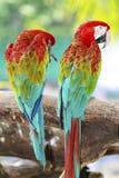 Попугаи ары в природе Стоковая Фотография RF