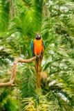 Попугаи ары сидя на ветви Стоковые Изображения