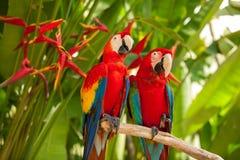 Попугаи ары шарлаха Стоковая Фотография RF