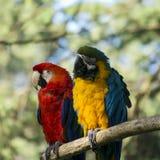 Попугаи ары Стоковое фото RF