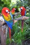 Попугаи ары Стоковые Фотографии RF