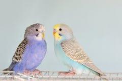 Попугаи волнистого попугайчика на клетке Стоковая Фотография