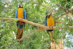 Попугаи голубых, зеленых и желтых пер большие Стоковое Изображение