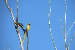 Попугаи голубых, зеленых и желтых пер большие Стоковое Изображение RF