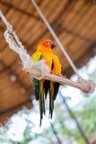 Попугаи длиннохвостого попугая Солнця садясь на насест на ветви Стоковые Изображения