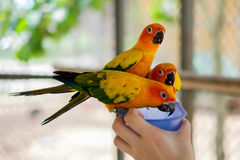 Попугаи длиннохвостого попугая Солнця садясь на насест на шаре Стоковое Фото