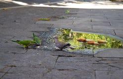 Попугаи и хлеб на улице, Барселона голубя подавая Стоковое Фото