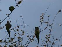 Попугаи монаха Backlite на ветвях дерева Стоковое фото RF