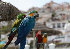 попугаи на pearch Стоковое Изображение