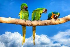 Попугаи - ararauna Ara на дереве каникула принципиальной схемы тропическая стоковые изображения rf