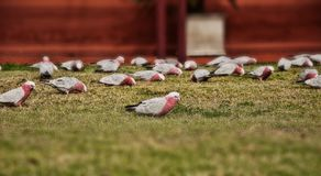 Попугай Австралии стоковая фотография