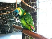 Попугай Амазонки сидя на ветви Стоковое Изображение