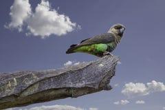 Попугай Апельсин-bellied женщиной Стоковое фото RF