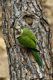 Попугай Аргентины , & x28; Monachus& x29 Myiopsitta; Стоковое Фото