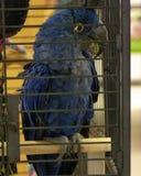 Попугай ары гиацинта сидя на окуне Стоковое Фото