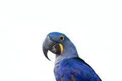 Попугай ары гиацинта Стоковые Фото