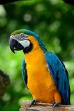 Попугай ары голубого и желтого золота Стоковое Изображение RF
