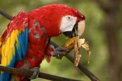 Попугай ары есть банан Стоковые Фотографии RF