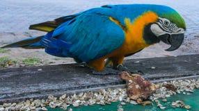 попугай ары желтых пер Сине-золота большой Стоковое фото RF