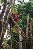 Попугай ары 2 красных цветов сидя на ветви Стоковое Изображение