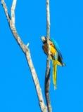 попугай ары Сине-золота на высоком дереве Стоковое фото RF