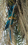 попугай ары Сине-золота на пальме Стоковое Изображение