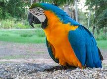 попугай ары Сине-золота стоковая фотография rf