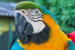 попугай ары Сине-золота стоковые фото