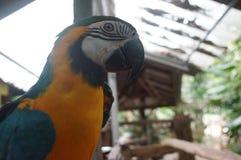 Попугай ары сидя на ветви, мощном клюве, пер Стоковая Фотография RF