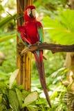 Попугай ары шарлаха красный сидя на ветви Стоковое фото RF