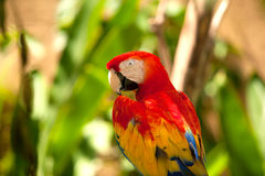 Попугай ары шарлаха на дереве Стоковая Фотография RF