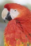 Попугай ары Стоковое Изображение