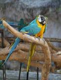 Попугай ары Стоковые Фотографии RF