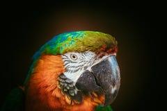 Попугай ары Стоковые Изображения