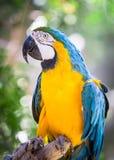 Попугай ары Стоковые Изображения RF