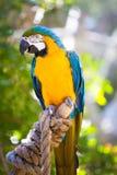 Попугай ары Стоковое Фото